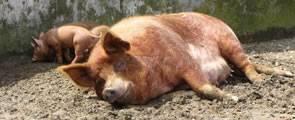 Swine Heading Image