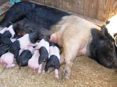 Natural Pig Operation