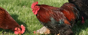 Poultry Heading Image
